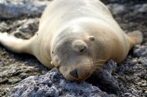 sleepy-sea-lion